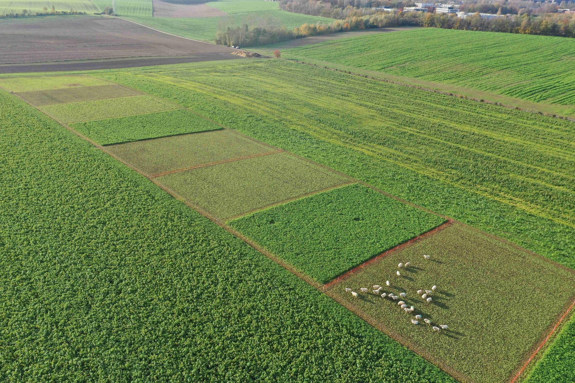 Le pâturage des couverts d'intercultures par les ovins au service de qualité de la ressource en eau
