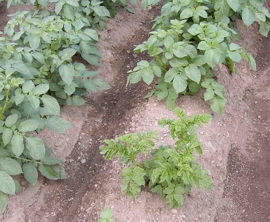 Controlling the potato virus Y: an absolute necessity for our crops