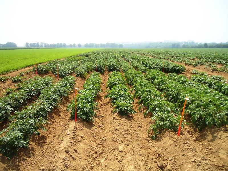 Pommes de terres robustes en agriculture biologique, rapport scientifique de l'essai variétal